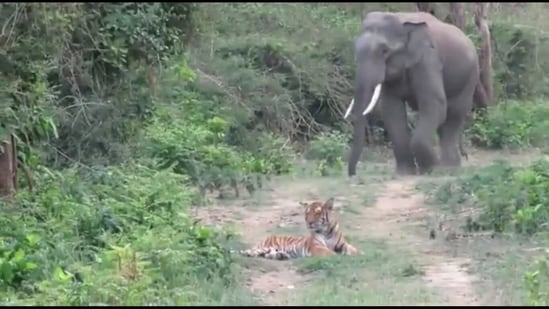 A still from the video showing the elephant and the tiger. (Twitter/@deespeak)