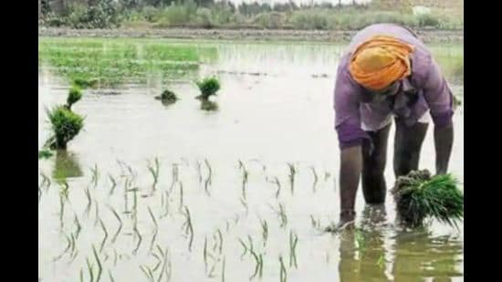 Basmati exporters seek check on use of pesticides in crop amid tougher norms by foreign buyers