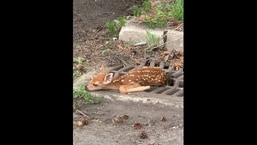 The baby deer was rescued by North Olmsted Police Department.