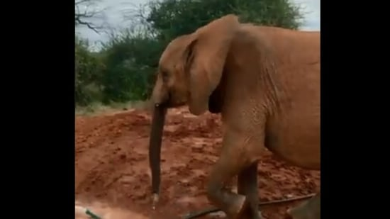 The image shows an elephant named Lemeki.(@SheldrickTrust)