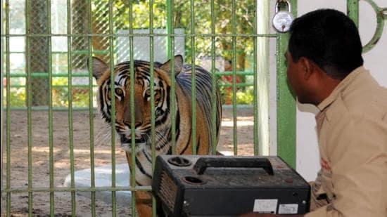 A tiger at Ranchi's Bhagwan Birsa Biological Park. (HT archive)