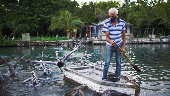 Leonardo Carrillo feeds pelicans in front of his home in Guanimar, Cuba.(REUTERS)