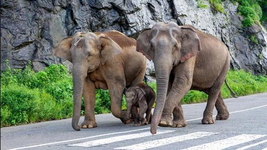 If large animals such as whales and elephants had the same risk of getting cancer as humans, then young animals of those species would never survive into adulthood. (File photo)
