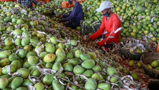 Locals claim 'Noorjahan' mangoes are of Afghan origin and cultivated only in the Katthiwada region of Alirajpur district.(PTI representative image)
