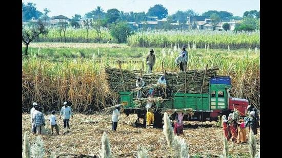 Environmentalists worry that the increased target for ethanol blending could incentivise water-intensive crops such as sugarcane and rice, and suggest that the government should focus on lower-water intensity crops such as millets. (HTPhoto)