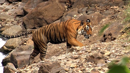The tiger was captured from Harinbhanga forest just opposite the Harikhali camp under Bashirhat range in Bengal and later released with the satellite collar on December 27, reports said.(HT file photo)