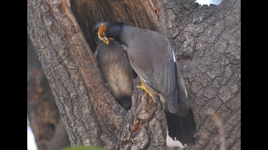 A mynah feeding its young in a tree trunk at Sector 8, Chandigarh, on a sunny Monday afternoon. (Keshav Singh/HT)