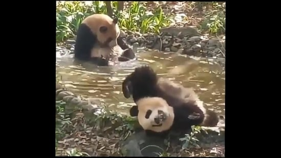 The two pandas relax in the water hole(Twitter/Nature & Animals)