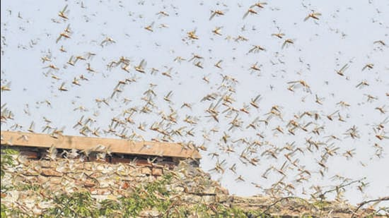 A swarm of locusts in Bikaner in May 2020. (PTI)