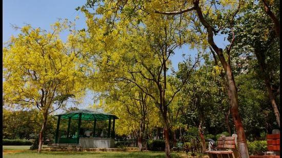 Amaltas trees in full bloom in Dwarka, New Delhi, on May 26. (Shivam Saxena/HT photo)