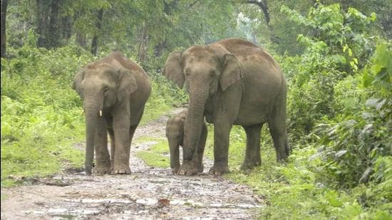 A group of wild elephants at the Dihing Patkai National Park. (Forest Dept. (ASSAM).)