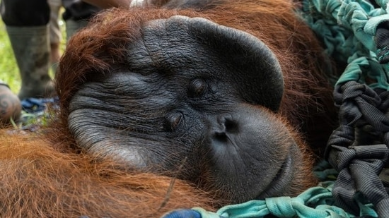 Jala, a male adult orangutan, lies while getting anesthesia for medical tests before being released back into the wild.(via REUTERS)