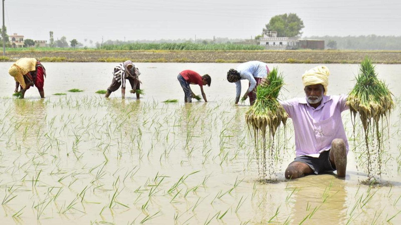 Punjab farmers go for multiple paddy varieties, sowing methods - Hindustan Times