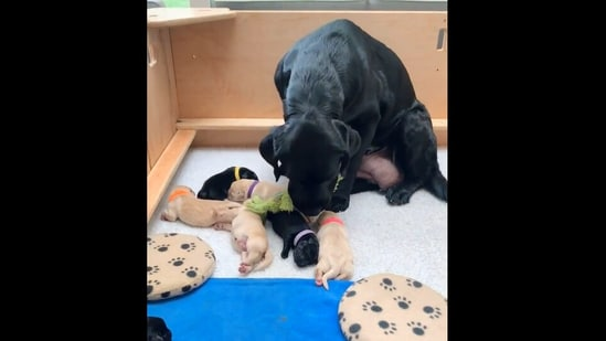 Dita the dog bringing the toy for her puppies. (Instagram/@thelabslife)