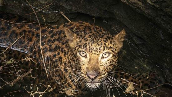 Image for representation: Just earlier this month, the news of a 4-year-old girl mauled and killed by a leopard in Kashmir made headlines. (File photo)