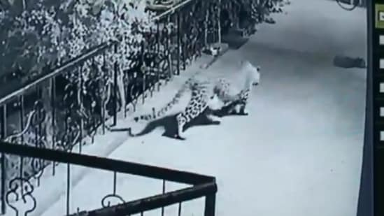 Leopard walking stealthily towards the pet dog sleeping at the doorstep.(Twitter/@ANI)
