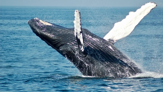 The humpback whale spat out the man about 40 seconds after swallowing him (representational image).(Unsplash)