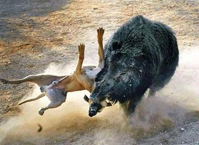 In Pakistan, ferocious hunting dogs are trained to battle a captured wild boar in an arena. Here a pugnacious boar makes short work of his tormentor. (PHOTO: JUST HUNTERS ON FACEBOOK)