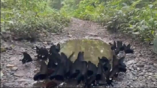 The image shows the black butterflies fluttering over the puddle.(Twitter/@parveenkaswan)