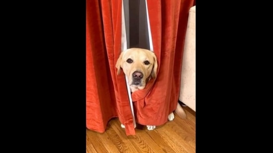 Magnus hides behind a pair of curtains to save himself from a vacuum cleaner(Instagram/@magnusthetherapydog)