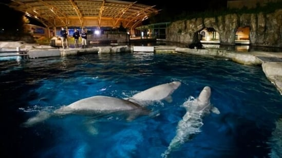 Three beluga whales swim together in an acclimation pool after arriving at Mystic Aquarium.(AP)