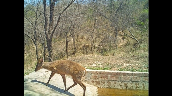 A day-time camera trap photo of a Barking deer at the water hole. (PHOTO COURTESY: NARBIR S. KAHLON)