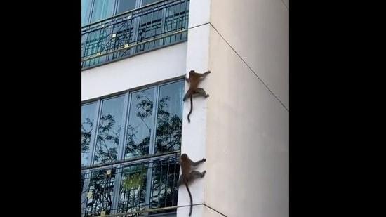 Harsh Goenka shared a clip showing the monkeys climbing down the building.(Twitter/@hvgoenka)