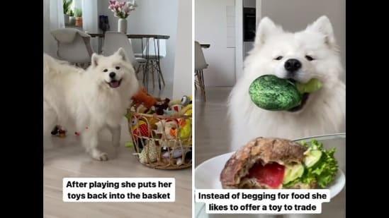 Maya the doggo is undoubtedly one of the good girls on Instagram.(Twitter/@mayathepolarbear)