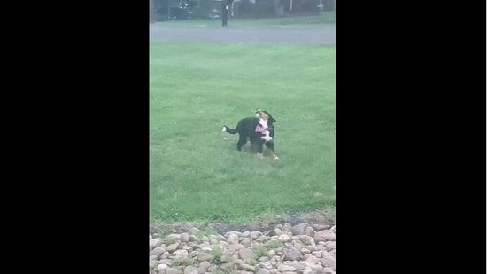 The puppy reacting to heavy rain in the video posted on Reddit.(Reddit/mr_never_lift)