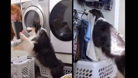 Secret the doggo aced her job as a laundry assistant and netizens loved the clip.(Instagram/@my_aussie_gal)