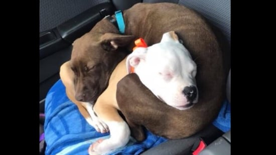 Luna and Daisy sleeping while cuddling each other.(Twitter/@dog_rates)