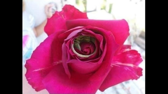 A picture of the rose. Can you spot the lizard sleeping inside? (Reddit/Imgur)
