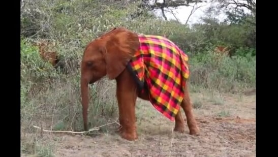 The image shows the baby elephant wearing a colourful blanket.(Twitter/@sheldrick_trust)