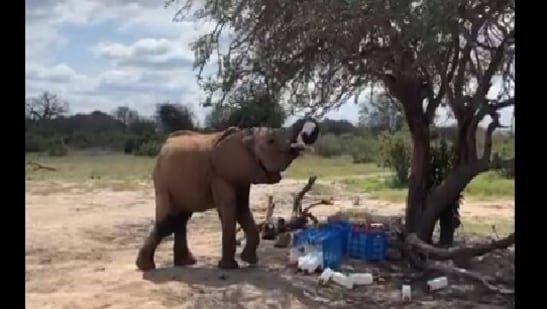 The image shows the young elephant drinking the leftover milk.(Twitter/@sheldrick_trust)