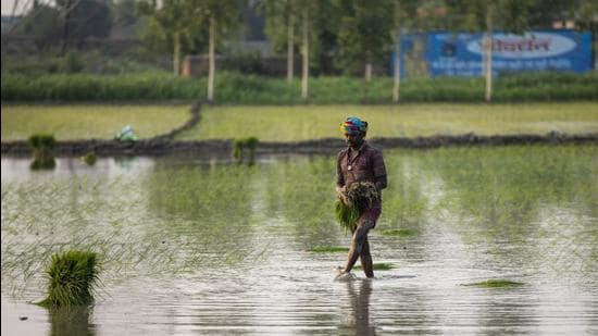 A farmhand prepares to sow rice saplings at a flooded paddy field. (HT FILE)