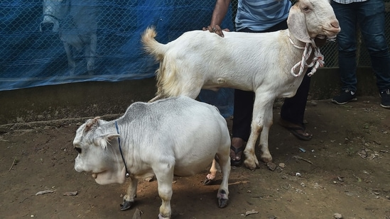 A huge crowd gathers in Bangladesh to see the world's smallest cow