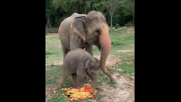 Luna, the baby elephant playing with food next to her mother.