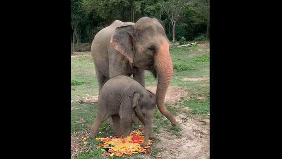 Luna, the baby elephant playing with food next to her mother. (Instagram/@samuielephanthaven)