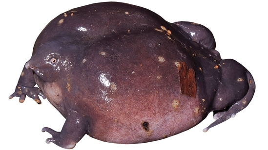 Biju's discovery of this rather odd-looking purple frog (Nasikabatrachus sahyadrensis) in 2003 changed his life. Not only had he discovered a brand new family of amphibians and provided evidence of an ancient geographical link between India and the Seychelles, an island now almost 4,000 km away in the Indian Ocean, the frog was also proof of a claim he had made a couple of years earlier — that India had hundreds of amphibian species waiting to be discovered.(Photo by SD Biju)