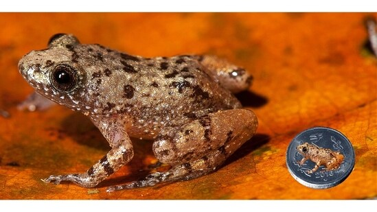 The Nyctibatrachus pulivijayanii (Vijayan's night frog), a miniature frog less than 14mm long. The Nyctibatrachus, a genus of tiny night frog, is found only in the Western Ghats. The pulivijayanii is named after Vijayan Kani, one of the many tribals who have guided Biju through unfamiliar forests through the years, helping greatly in his research. Kani is from the Agasthyamala hills of Kerala and acquired the name Pulivijayan after surviving a leopard attack (puli is Malayalam for leopard). Biju thought this name apt, he says, given the leopard-like spots on the back of this frog.(Photo by SD Biju)