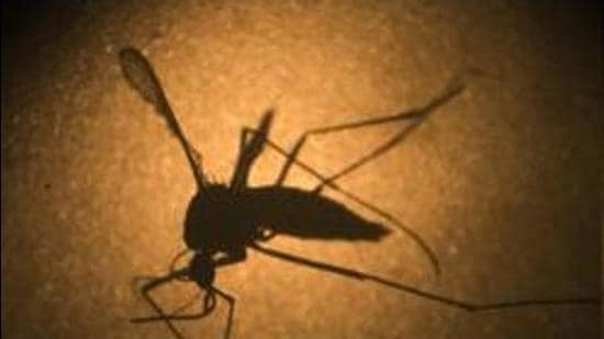 Aedes aegypti mosquito is known to carry the Zika virus. (File photo)