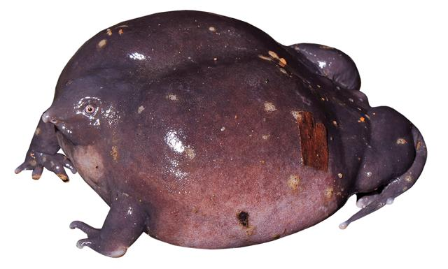 Finding the Indian purple frog (Nasikabatrachus sahyadrensis) in the Western Ghats was evidence of the ancient geographical link between India and the Seychelles, an island now almost 4,000 km away in the Indian Ocean. (SD Biju)
