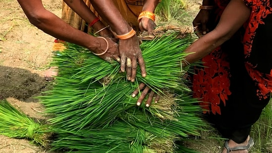 Women farmers place paddy saplings at one place before replanting in a field at Tiuri village, in the Indian state of Uttar Pradesh.(AP)