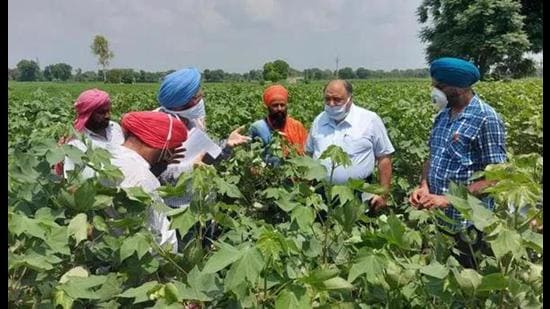 Monitor cotton crop for whitefly, pink bollworm attack: PAU