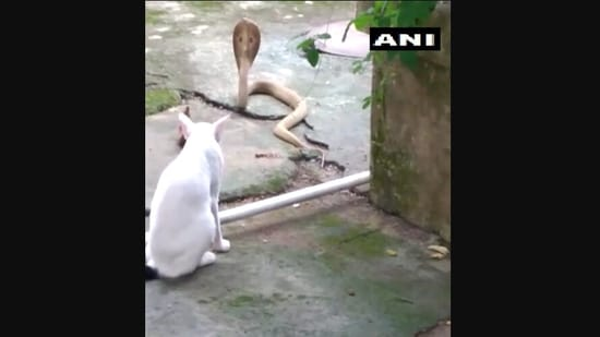 The image shows the pet cat preventing the cobra from entering the house in Odisha's Bhubaneswar.(Twitter/@ANI)