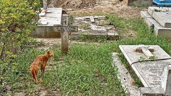 This evening, a brown cat with unusually huge whiskers is making her way through the tombstones.