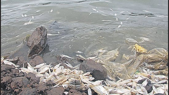 Dead fish on the Pune's Jambhulwadi lake in Katraj on Thursday morning. (RAVINDRA JOSHI/HT)