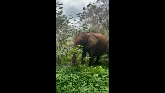 The image shows an elephant named Ziwadi in the forest.(Instagram/@sheldricktrust)