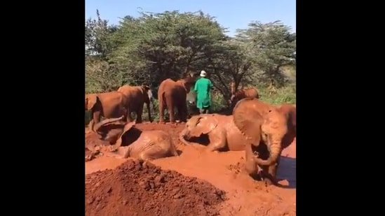 The image shows baby elephants playing in the mud.(Twitter/@SheldrickTrust)