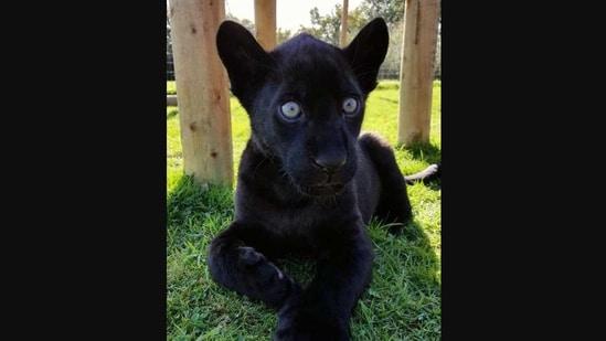 The image shows a jaguar named Maya as a cub.(Instagram/@thebigcatsanctuaryuk)